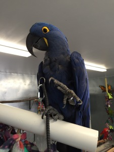Moseley the Big Blue Dinosaur (hyacinth macaw)